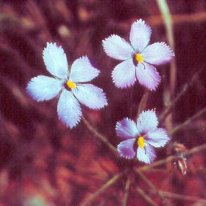 setSC-Byblis_linifolia-7