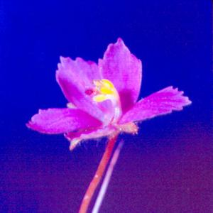 setSC-Byblis_linifolia-8
