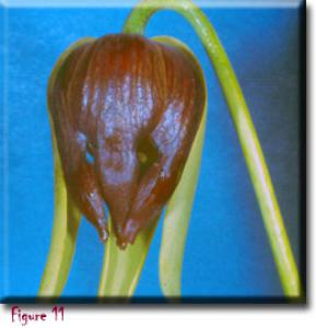setSC-Darlingtonia_californica-11