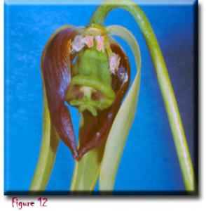 setSC-Darlingtonia_californica-12
