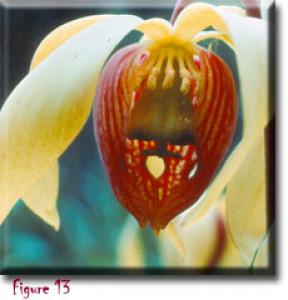 setSC-Darlingtonia_californica-13