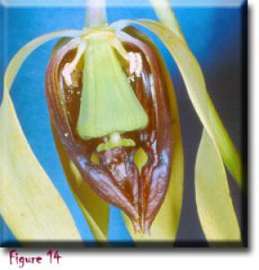 setSC-Darlingtonia_californica-14