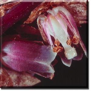 setSC-Monotropsis_odorata-3