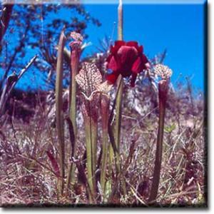 setSC-Sarracenia_leucophylla-1