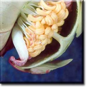setSC-Sarracenia_leucophylla-5