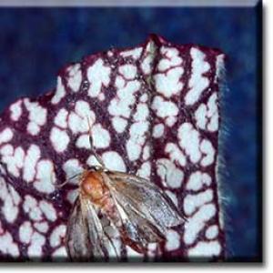 setSC-Sarracenia_leucophylla-9