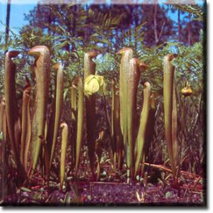 setSC-Sarracenia_minor-1