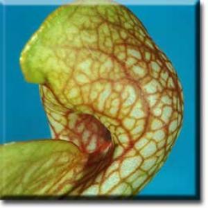 setSC-Sarracenia_psittacina-6