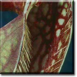 setSC-Sarracenia_psittacina-9