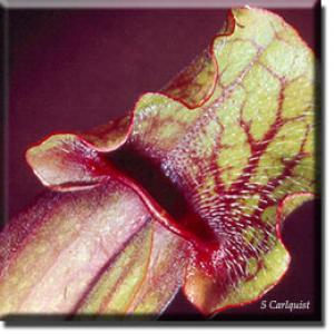 setSC-Sarracenia_purpurea-4